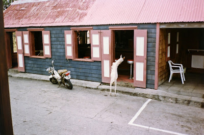 St. Eustatius bar with goat peeking in