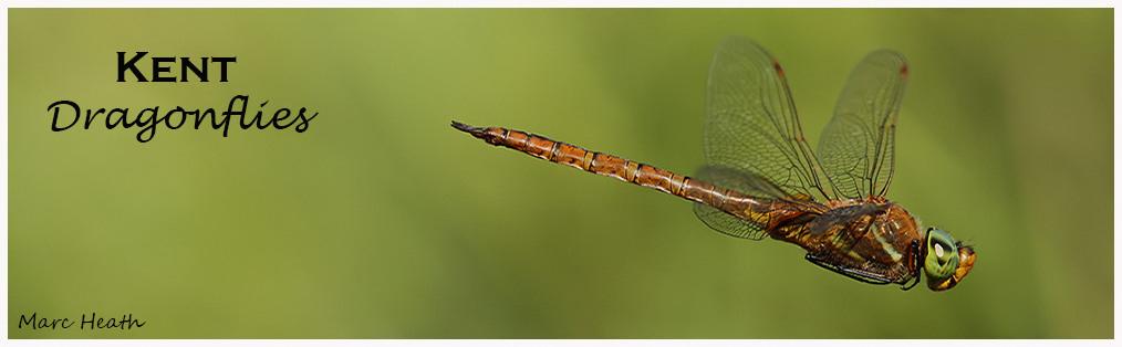 Kent Dragonflies