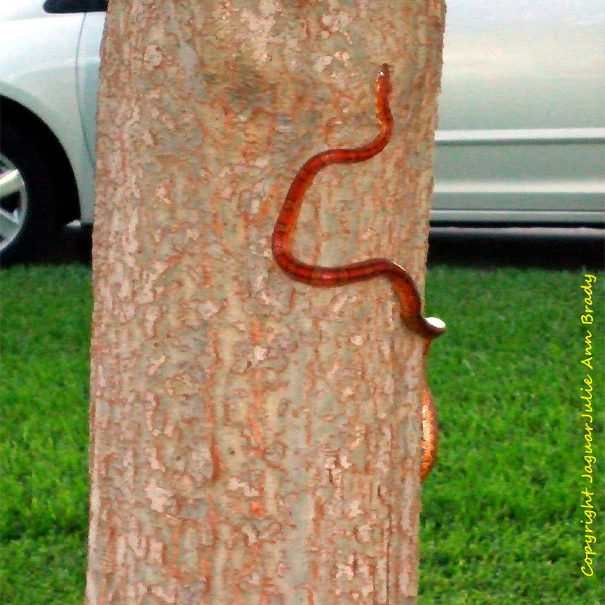 Red Rat Snake Climbing a Drake Elm Tree in Jacksonville Florida