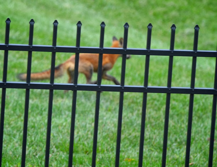 Red Fox running in a suburban backyard.