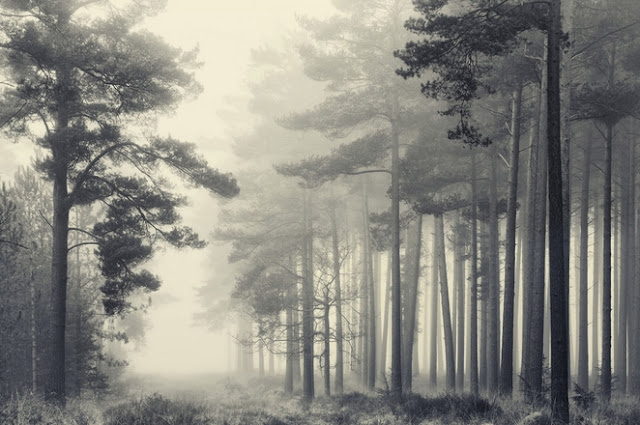 Pines in the New Forest,Hampshire, England,