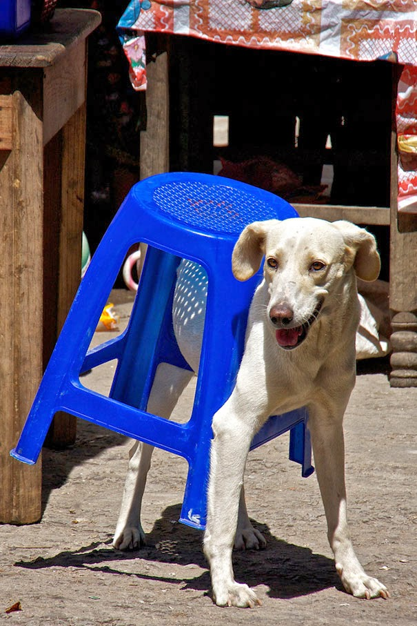 dog caught in chair