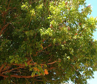 Mahoni (Swietenia mahagoni Jacq.)