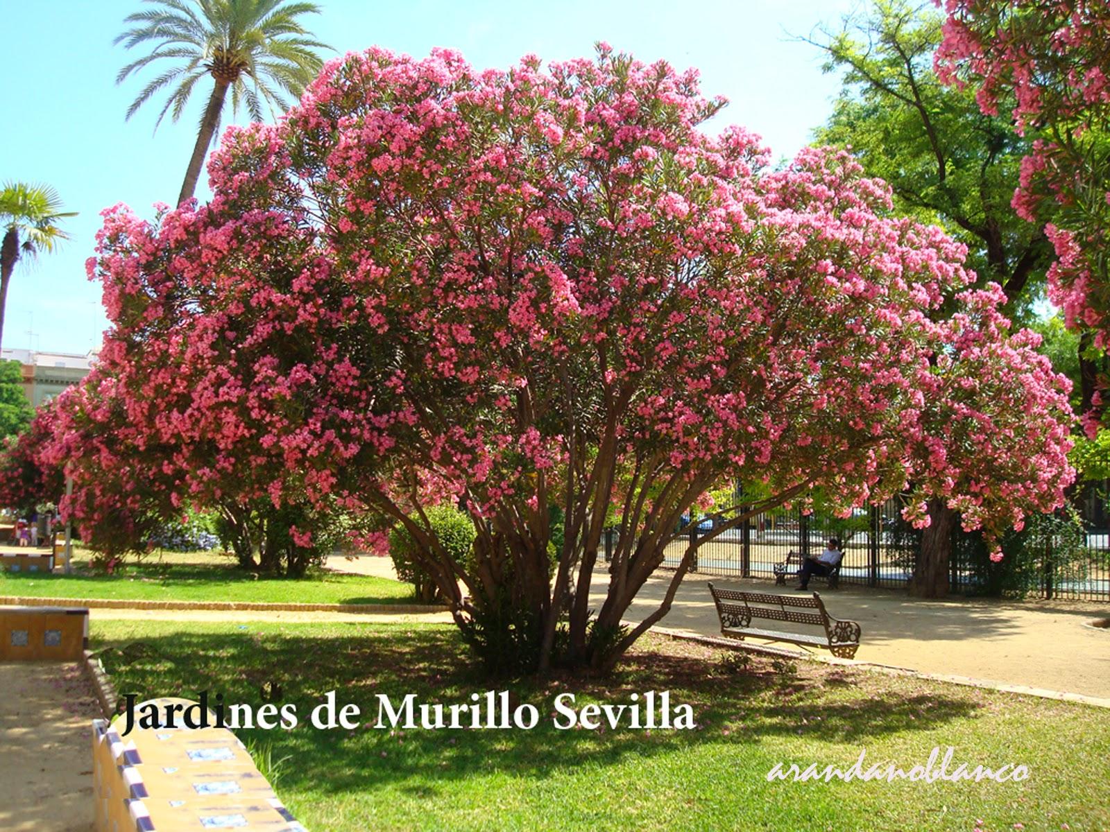 Arbustosensevilla encinarosa adelfa nerium oleander for Jardines de murillo