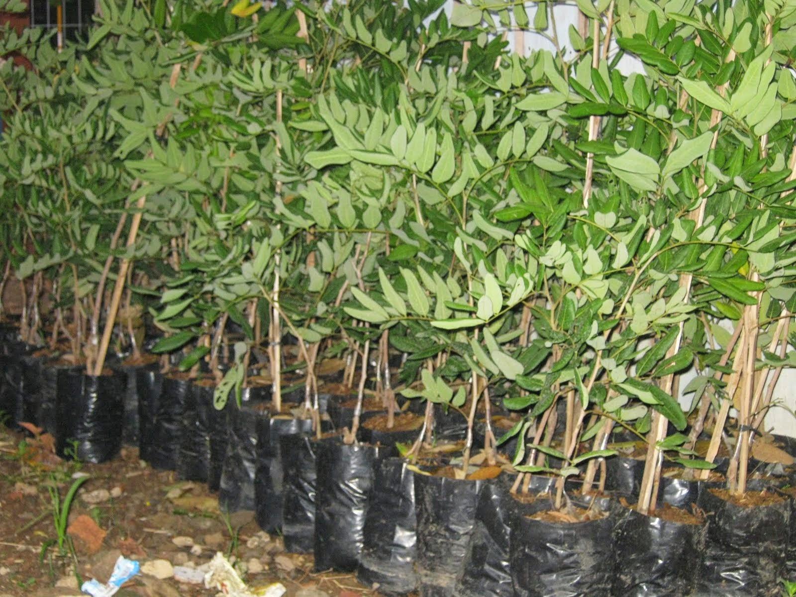 Jual bibit pohon LENGKENG | jasa tukang taman | dekorasi taman | saung gazebo