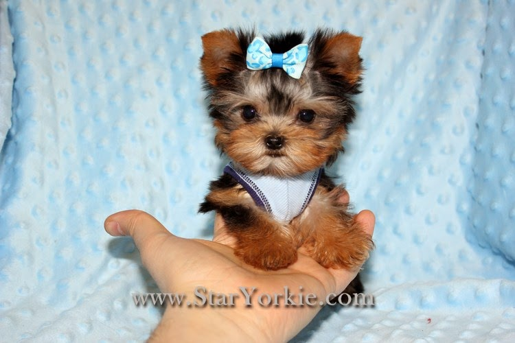 10 Cutest Yorkie Puppies