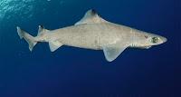 Gulper Shark - Centrophorus Granulosus