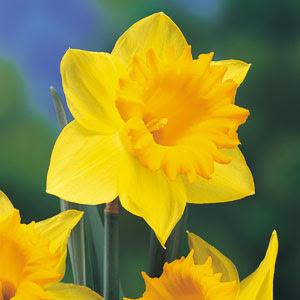 gambar bunga tulip melati