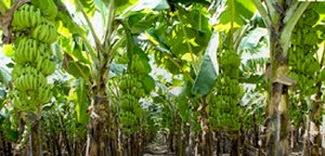 Tissue Culture Banana