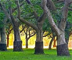 Kayu sonokeling ini dikenal sebagai kayu AMBOYNA