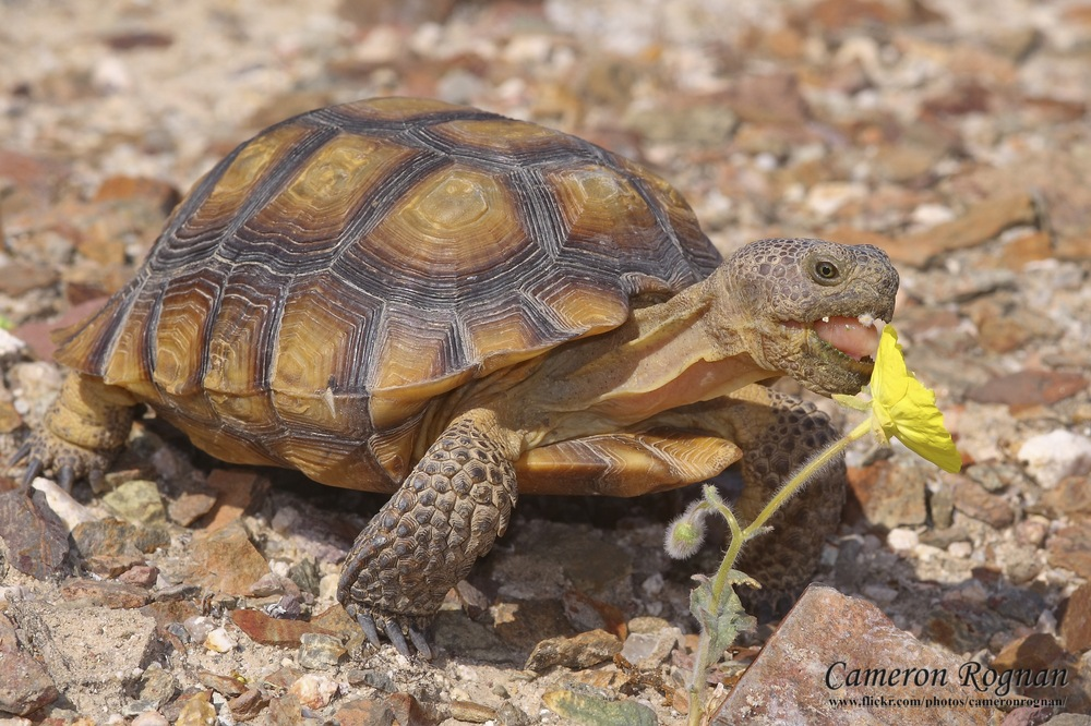 Desert Tortoise | Info and Photos | The Wildlife