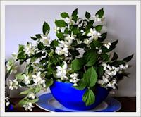 Cara Menanam & Merawat Bunga Melati di Pot