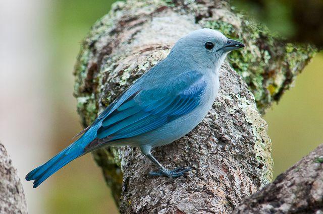 pássaro sanhaçu amazônia