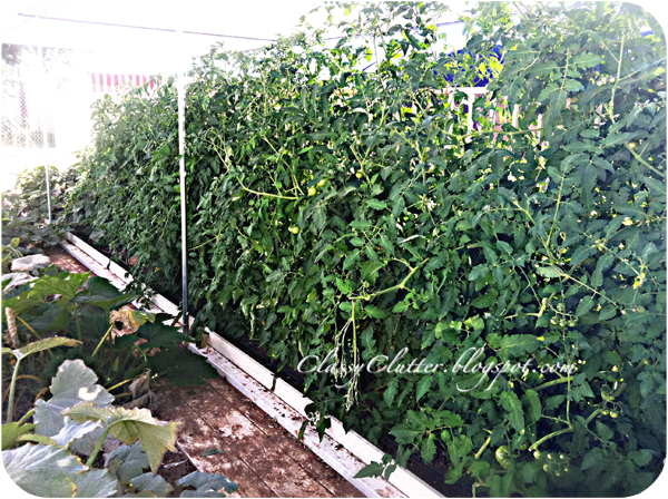 Look at all these tomato plants! They've also got zucchini, carrots ...