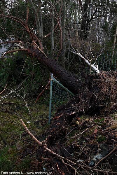 fallet träd, knäckt träd, vindfälle, nerblåst, höststorm, storm, efter stormen, foto anders n