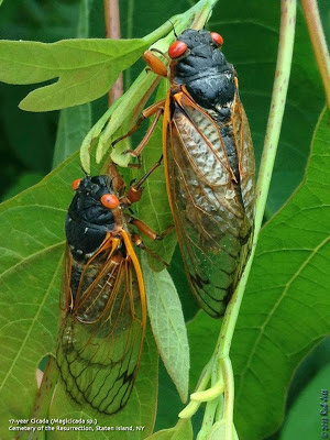 Cicada Staten Island
