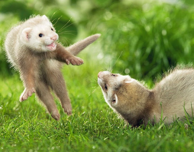 funny animal pictures, playful ferrets