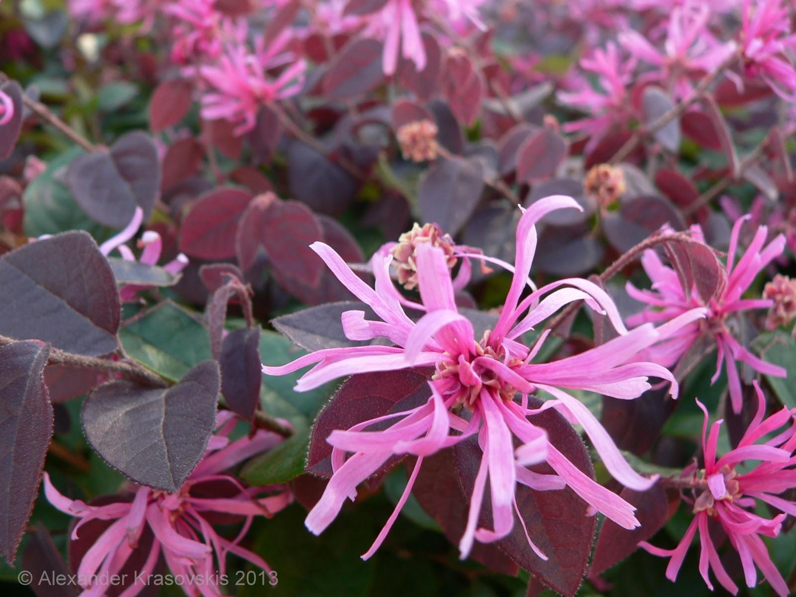 Aggregata Plants Gardens Hedging Plant Loropetalum Chinense