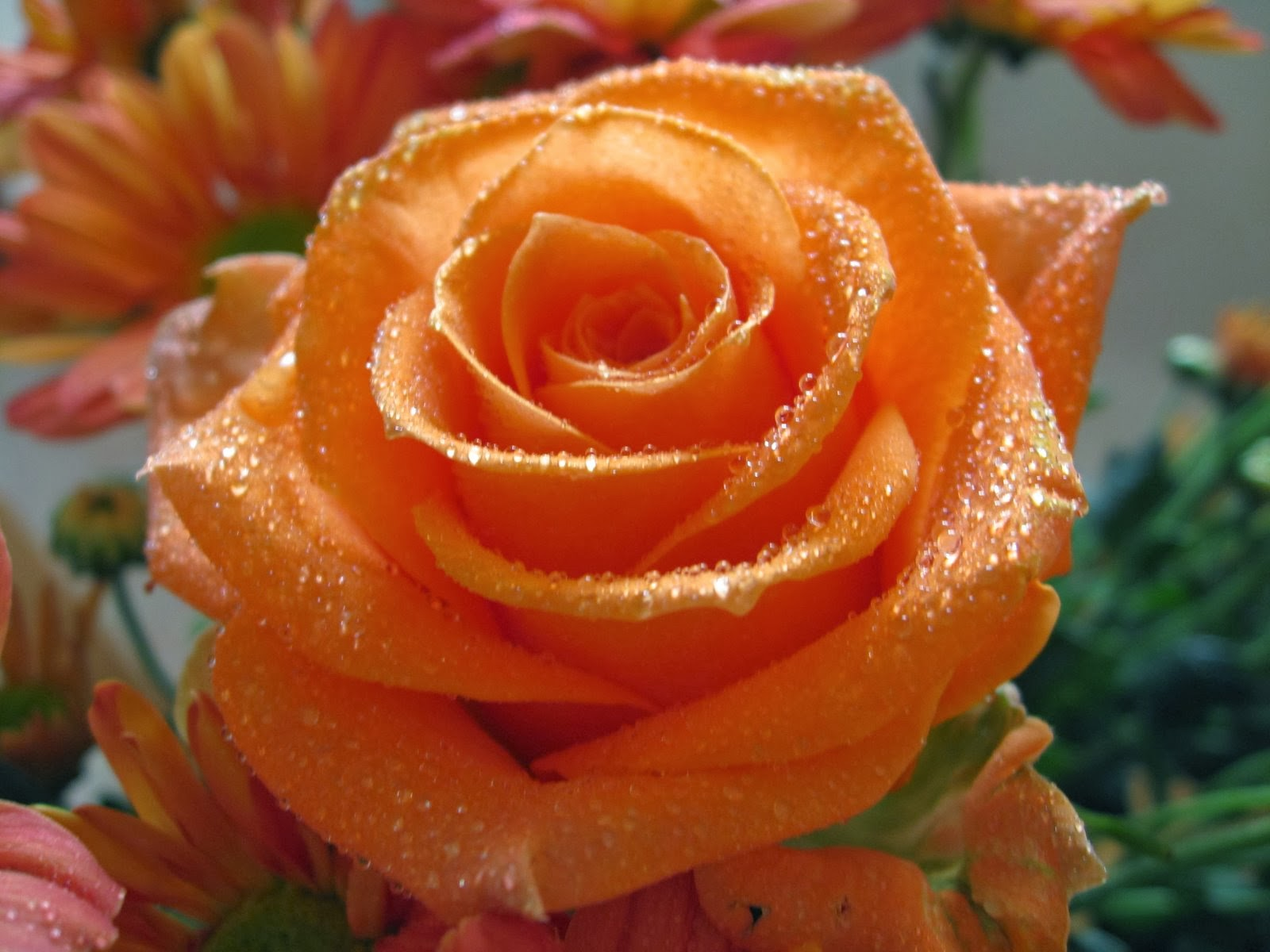 Beautiful Orange Color Rose Flowers Wallpapers