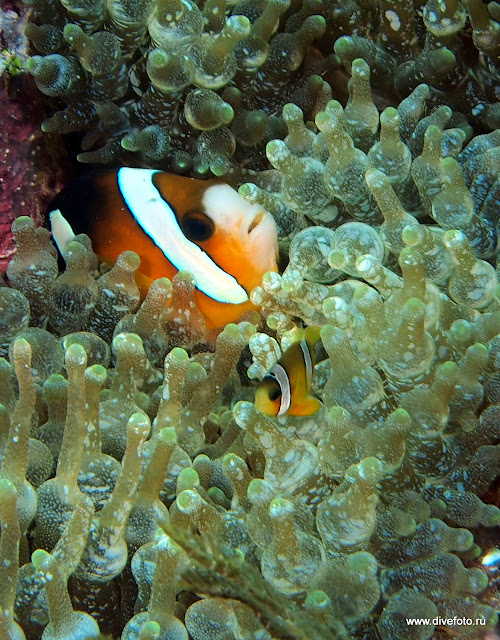 Рыба клоун с мальком
