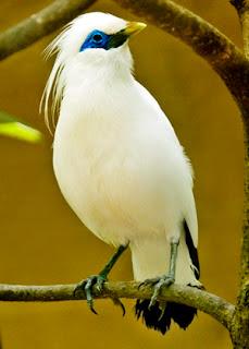 Jalak Bali (Leucopsar rothschildi)