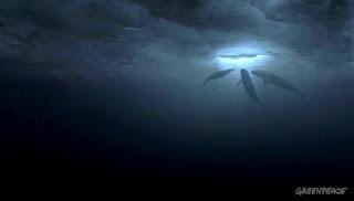 los cetáceos atrapados en los hielos de Alaska