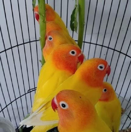 Tips Memilih Bakalan Anakan Lovebird Berkualitas
