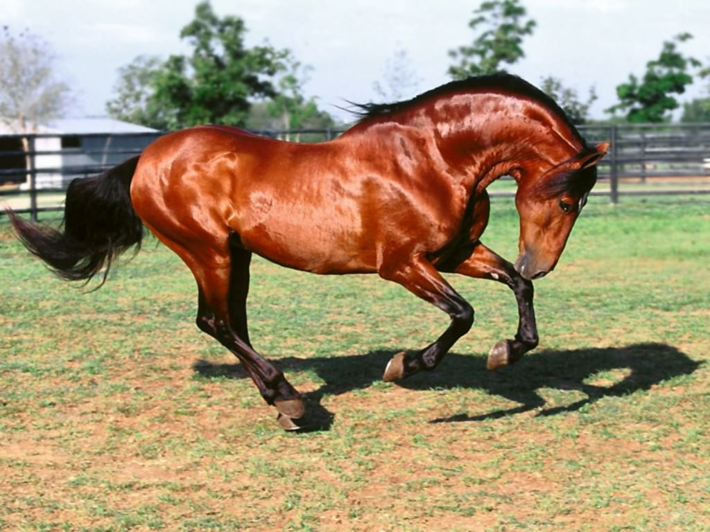 Most Inspiring   Wallpaper Horse Dark Brown - beautiful_wallpaper_of_brown_horse  2018_337568.jpg