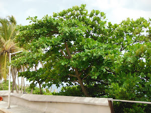 Observe la Uva de Playa  adulta