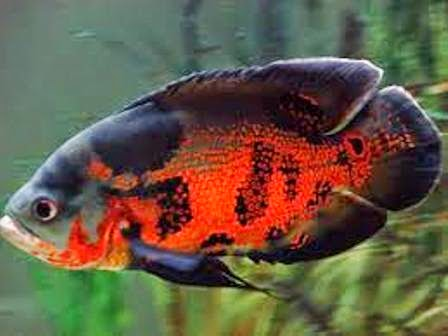 The Oscar Most Popular Freshwater Fish Freshwater Fish