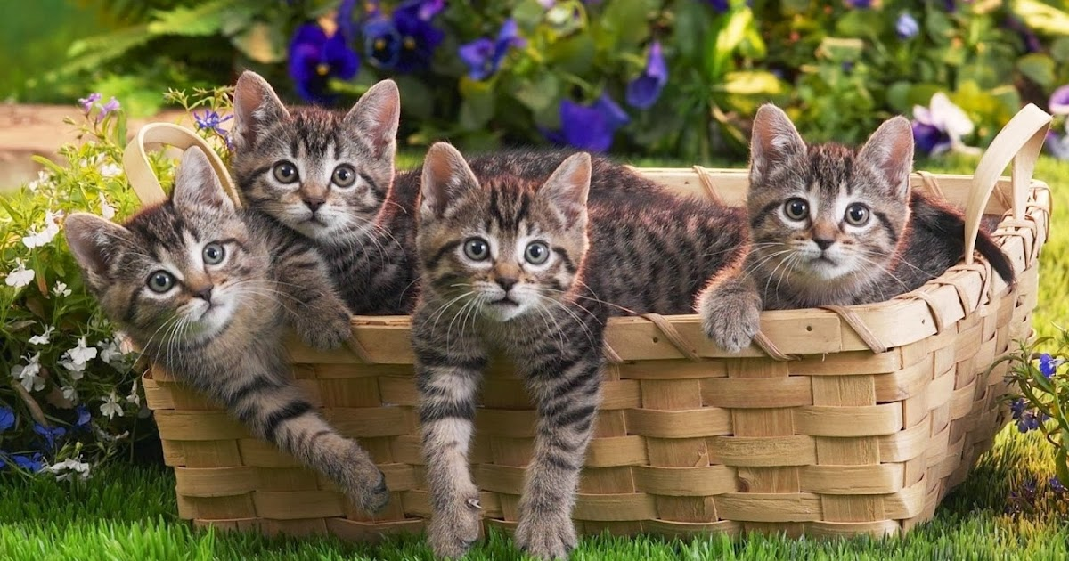 desktop hd wallpapers free downloads cat in basket hd. Black Bedroom Furniture Sets. Home Design Ideas