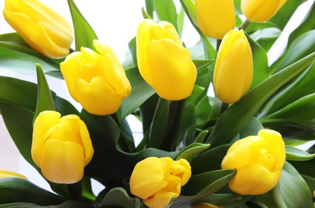 flowers for flower lovers. yellow tulips flowers., Natural flower