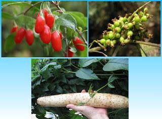 Manfaat Yang Tersimpan Pada Wolfberry, Semen Cuscutae dan Chinese Yam