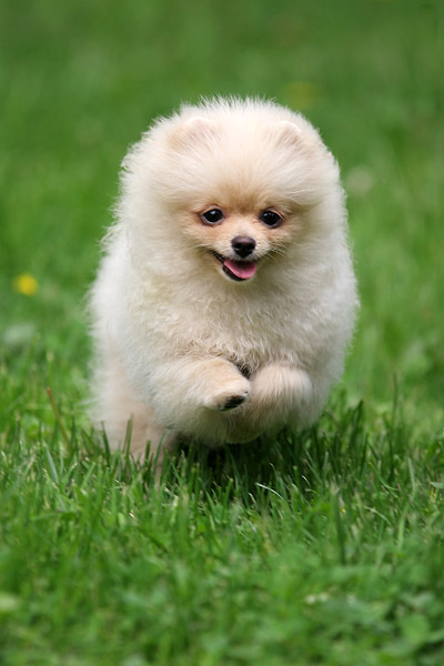 Indian Pomeranian Puppies