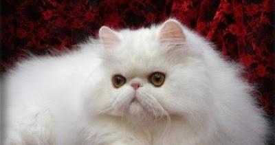 Lia 07 Blogger Cara Merawat Kucing Persia Yang Baik Dan Benar