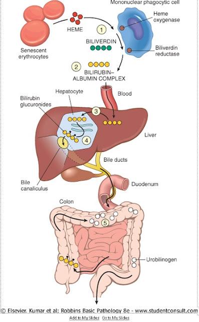 Red liver diagram