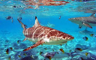 Grey reef sharks and tropical fish wallpaper