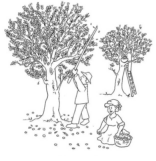 COLOREA TUS DIBUJOS: Personas recolectado ramas de Olivo para colorear