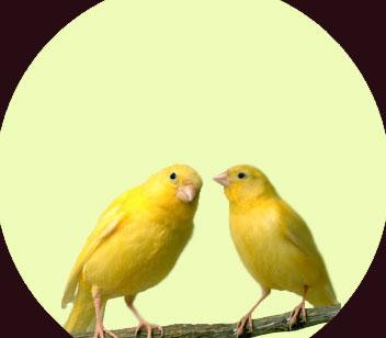 Cara Beternak Burung Kenari Yang Baik Dan Benar