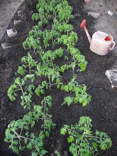 Засаженная грядка помидоров