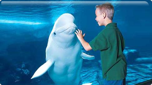 SeaWorld Orlando WildArtic Beluga