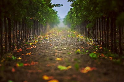 SWANSON VINEYARDS | MERLOT  - © CAROLYN CORLEY BURGESS