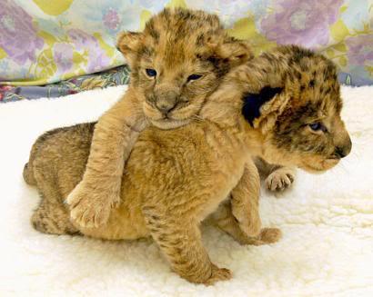 imágenes tiernos cachorros leones