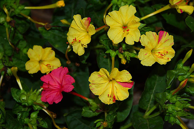 Mirabilis jalapa (The four o'clock flower) yellow pink broken colours flowers