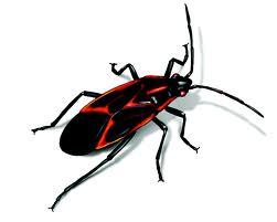 Bed Bug Binghamton