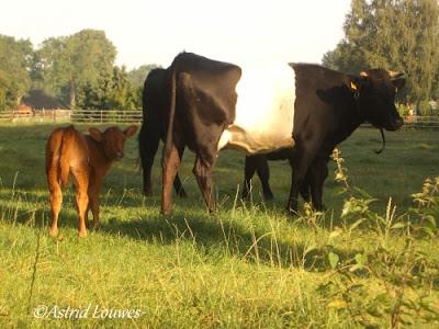 Lakenvelder koeien met kalf