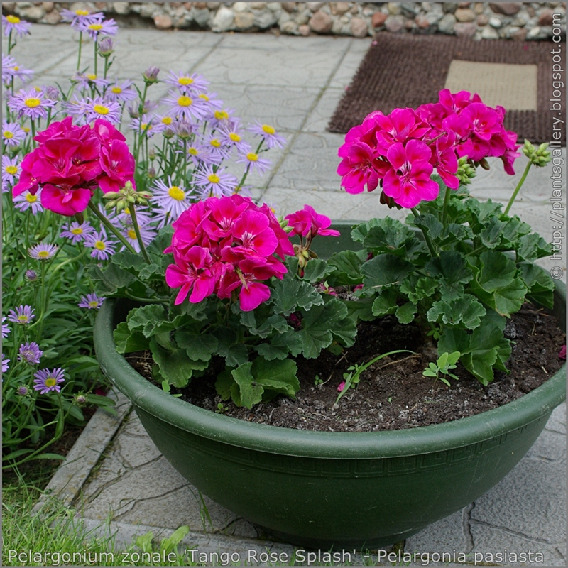 Pelargonium zonale 'Tango Rose Splash' - Pelargonia pasiasta  'Tango Rose Splash'