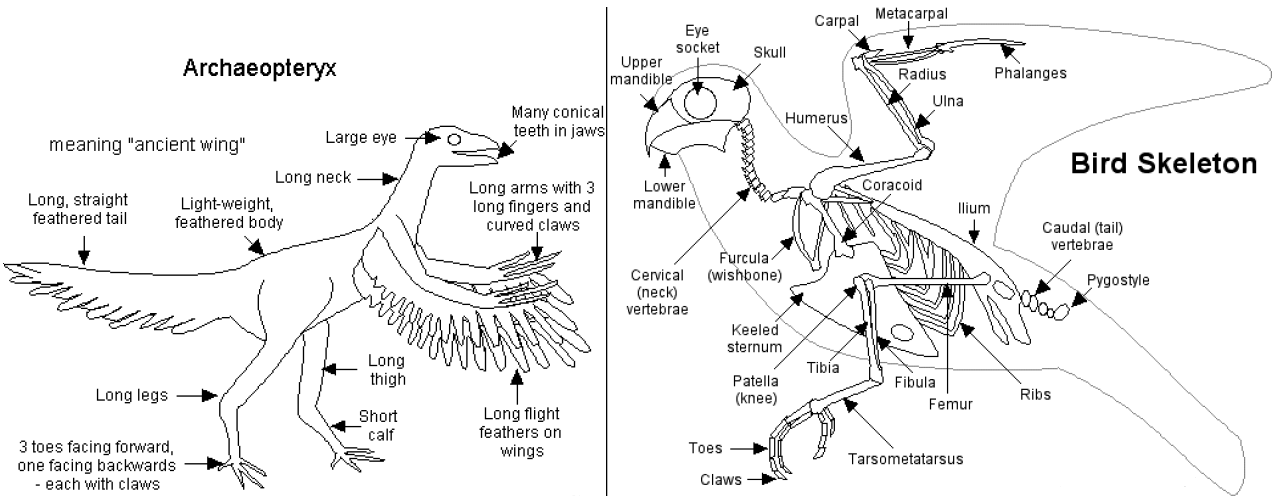Bird Skeletal System