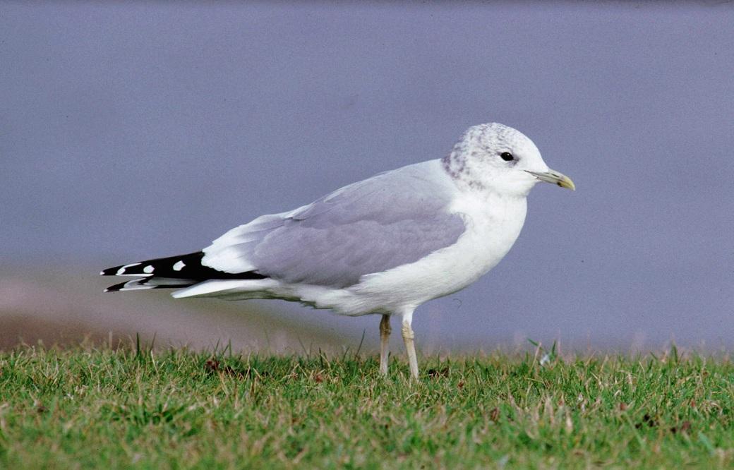 Bird Ringing Handa