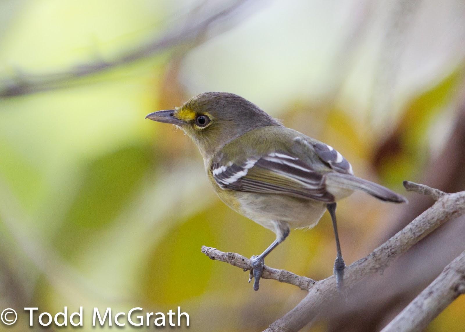 Slow Birding Bahama Mockingbird No Todd McGrath Yes